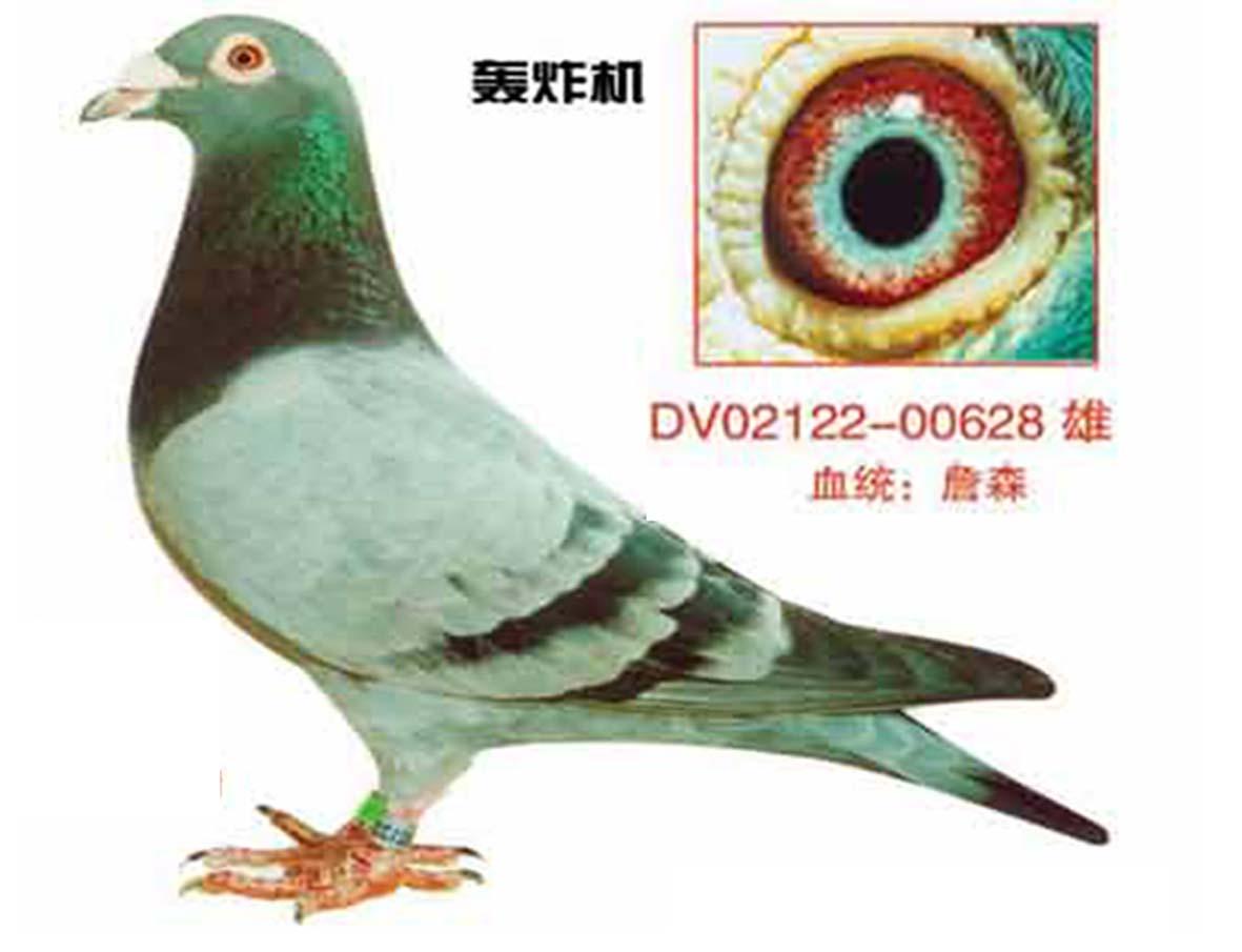 好鸽子翅膀图片 好鸽子怎么看翅膀 好鸽子图片