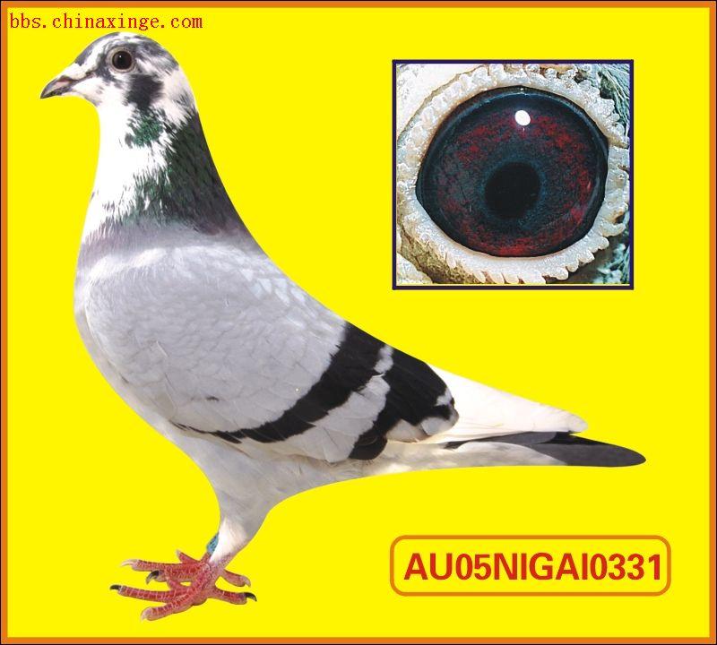 紫罗兰眼信鸽的图片 信鸽紫罗兰眼志图片