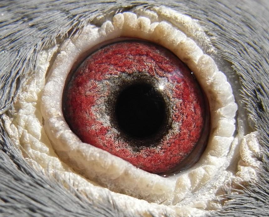 信鸽眼志图解图集 画眉鸟眼水图解 眼型图解