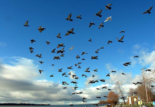 往事 17 飞吧 我心爱的鸽子